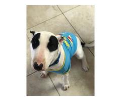 Bull terrier puppy needing forever home