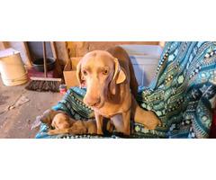 6 Weimaraner Puppies for Sale