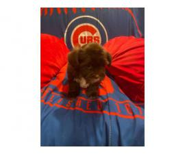 2 Shorkie puppies for sale