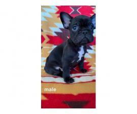 4 Beautiful French bulldog puppies available for new homes