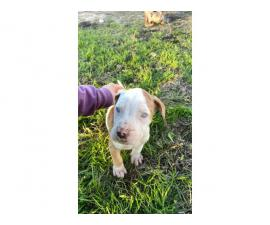 Fullblooded Catahoula Puppies