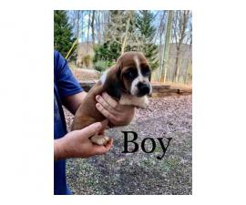 Basset Hound puppies ready for a new home