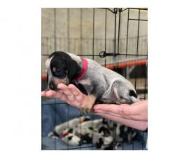 Litter of Purebreed Bluetick coonhound puppies for sale