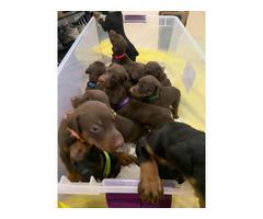 10 Purebred Doberman pinscher puppies for sale