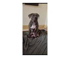 Female pitbull puppy