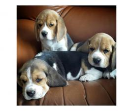 Three healthy beagle puppies for sale