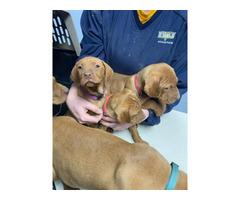 7 Vizsla puppies rehoming