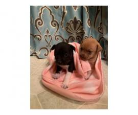 1 Black 1 Tan Teacup Chihuahuas for Sale