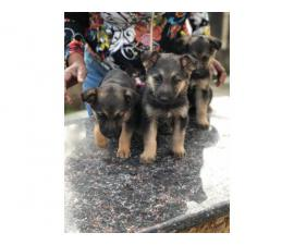3 German Shepherd Puppies Available