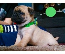 Female apricot Pug puppy for adoption