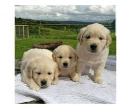 Cute females and Males Golden retriever puppies for rehoming