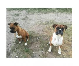 Purebred Boxer Puppies to good homes
