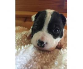 2 purebred boston terrier puppies available