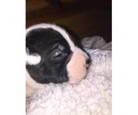 2 Purebred Boston Terrier Puppies Available In Raleigh North Carolina Puppies For Sale Near Me