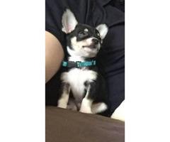 Purebred show line quality Chihuahuas