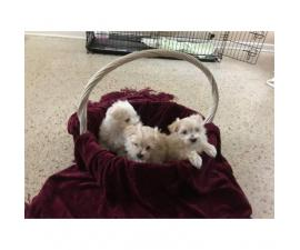 Male gorgeous Maltese Puppies