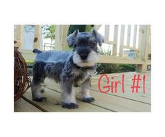 CKC Miniature Schnauzer puppies for sale