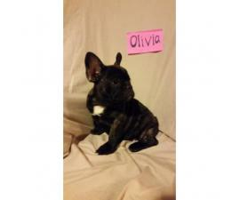 French bulldog puppies available for sal