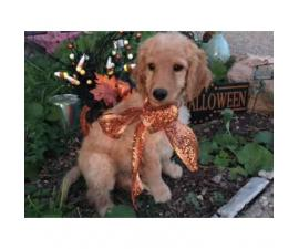 F1B Non-shedding Goldendoodle Puppies