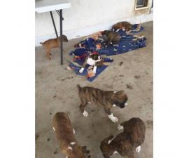 Brindle Boxer Puppies 6 still available