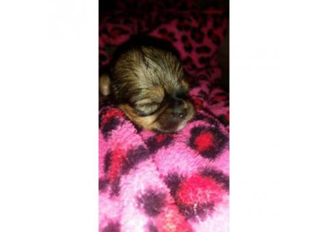 Shih-poo designer hybrid puppies available