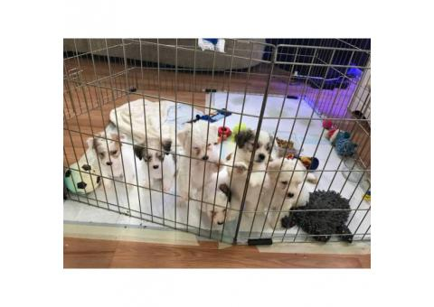 Bich-Poo for sale by owner - Puppies for Sale Near Me