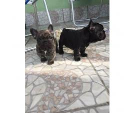 Females and males french bulldog pups for sale