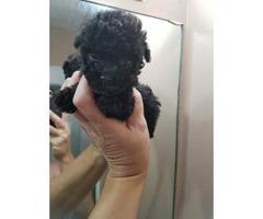 Teacup poodle in black for sale