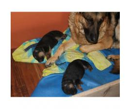 Pure German Shepherd Puppies with paper
