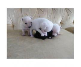 4 chihuahua puppies that are about to be 7 weeks old