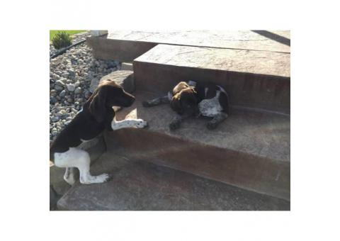 Shorthair Pointers Puppies only 500