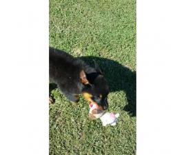 AKC Rottweiler puppies with limited AKC