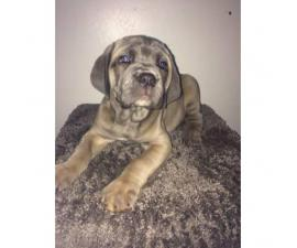 6 full blooded Cane Corso Puppies up for sale