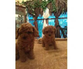 Toy Poodle puppies $700