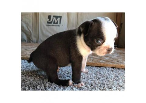Male Boston terrier puppies for sale