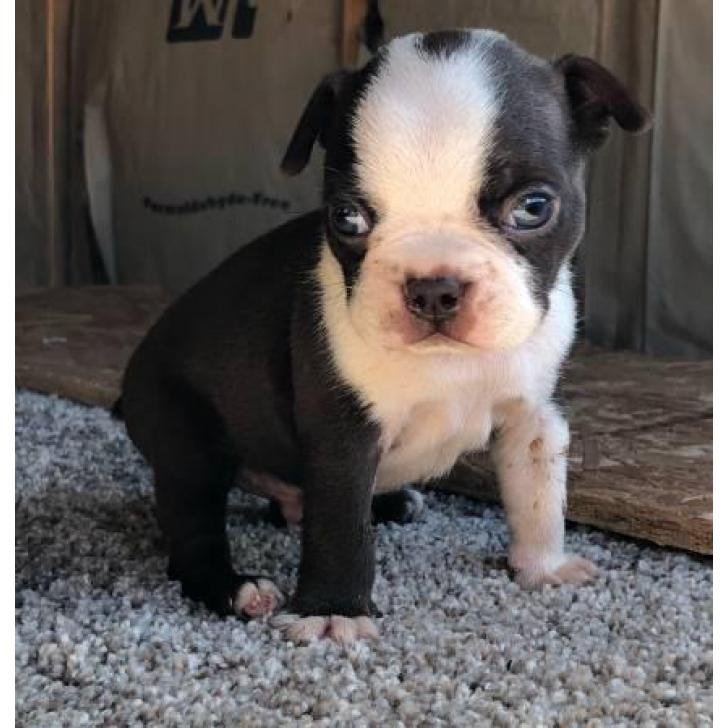 male boston terrier puppies for sale in san francisco