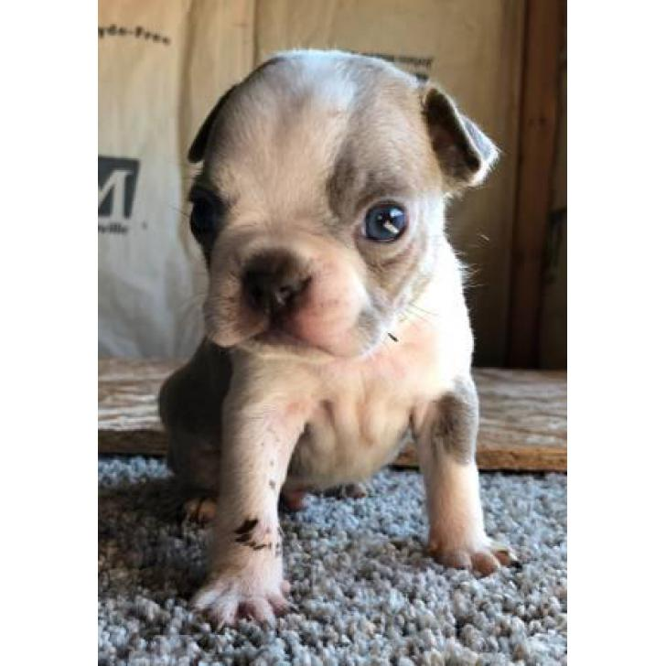 Male Boston Terrier Puppies For Sale In San Francisco California Puppies For Sale Near Me