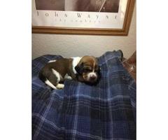 UKC Basset Hound puppies $700