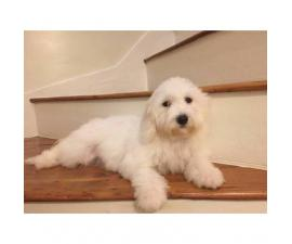 2 beautiful Bichon frise puppies are still available