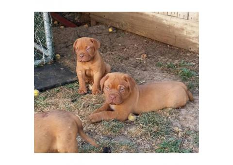 A.K.C dogue de bordeaux puppies