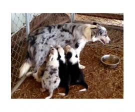 1 black & white female and 2 tri-colored female puppies for sale