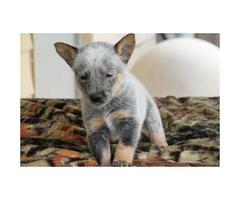 Blue Healers puppies  5 Males & 1 Female