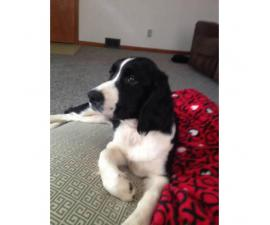 6 month old English Springer spaniel