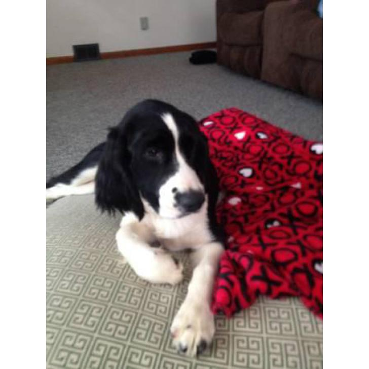 6 Month Old English Springer Spaniel In Akron Ohio Puppies For Sale Near Me