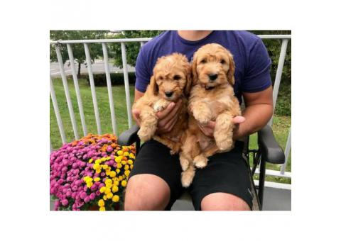 2 F1 mini goldendoodle puppies for sale
