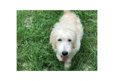 4 months old European English Cream Goldendoodle Puppy