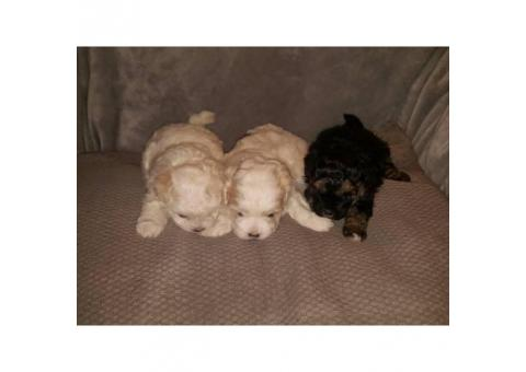 Adorable hypoallergenic shihpoo puppies $500