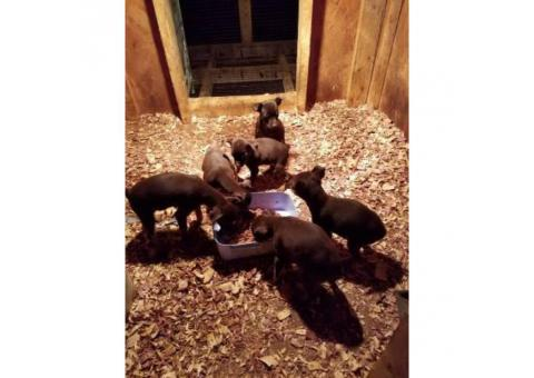 5 minpin puppies up for rehoming