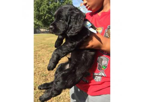 Lab puppies mixed with Poodle