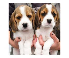 Four Healthy Beagle puppies available